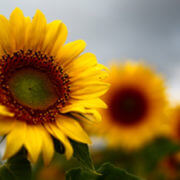 ozoneoil_sunflower_large